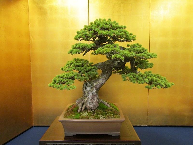 Azuma Goyomatsu Bonsai