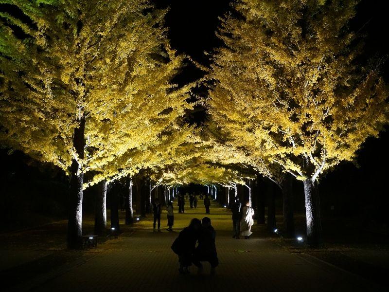 Azuma Sports Park Ginkgo Trees