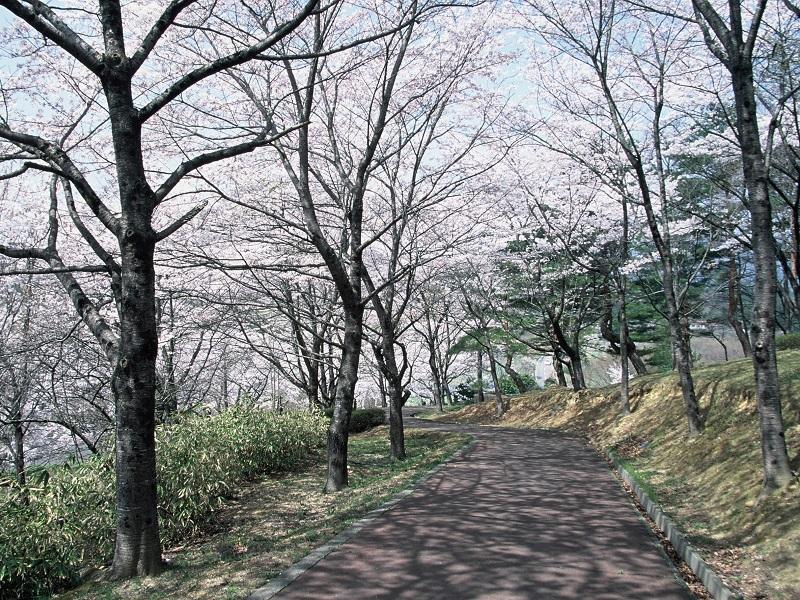 舘ノ山公園の桜