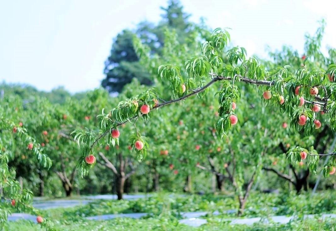 至る所で見かける果樹園