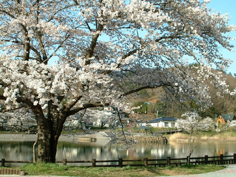 茶屋沼公園の桜