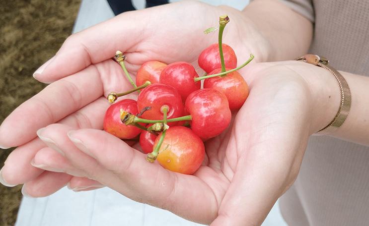 果樹園が立ち並ぶ「フルーツライン」で初夏のサクランボ狩り