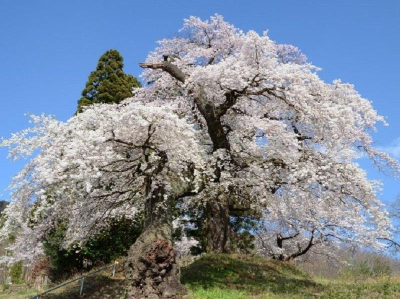 大蔵寺(大蔵寺のしだれ桜)