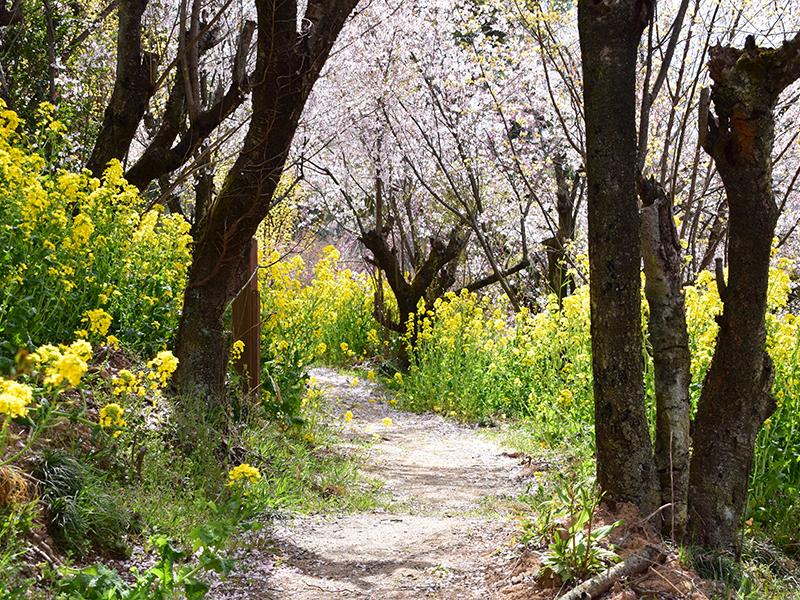 【花見山特集 Vol.3 】花見山トレッキングで春を楽しもう!福島駅からのおすすめ徒歩コース&グルメ