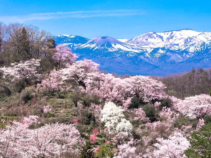 花見山11