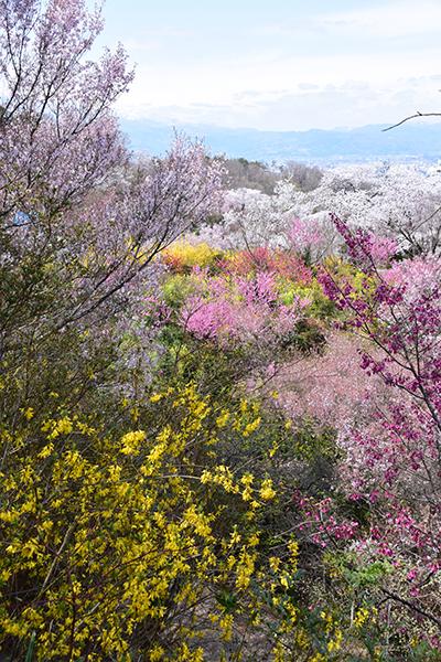 花見山13(縦)