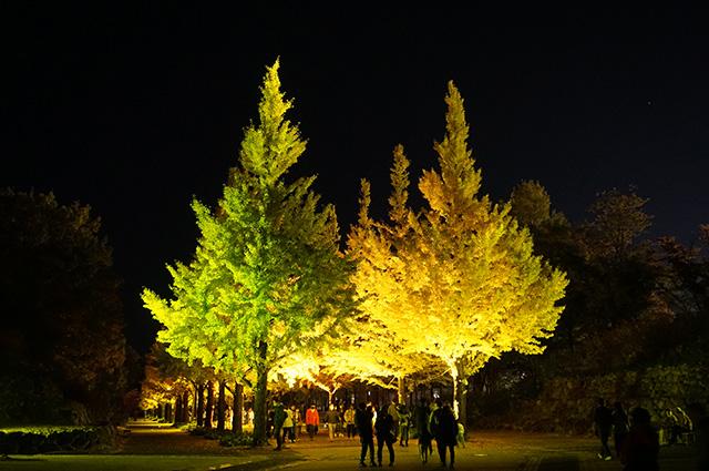あづま運動公園 イチョウ イチョウ並木 ライトアップ