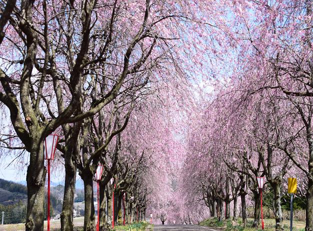 右輪台のしだれ桜
