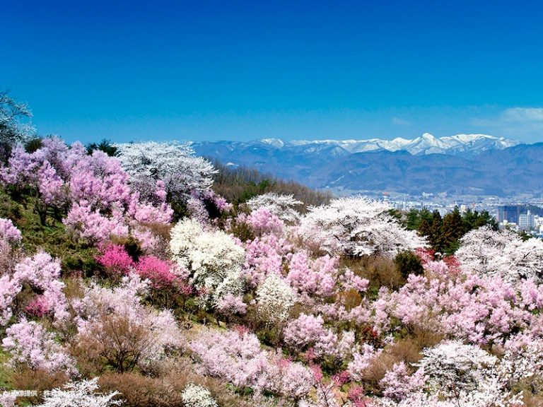 花見山公園周辺(桜の開花シーズン)