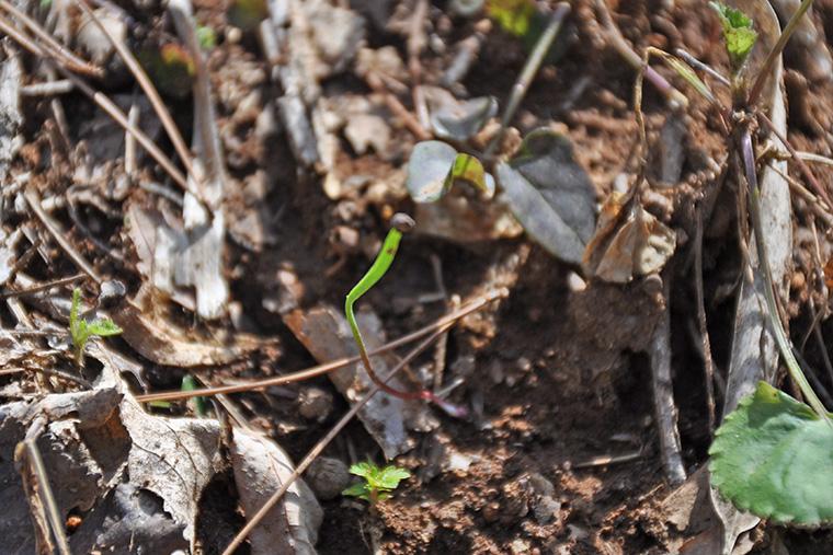 カタクリ カタクリ群生 福島市 福島市小鳥の森 小鳥の森
