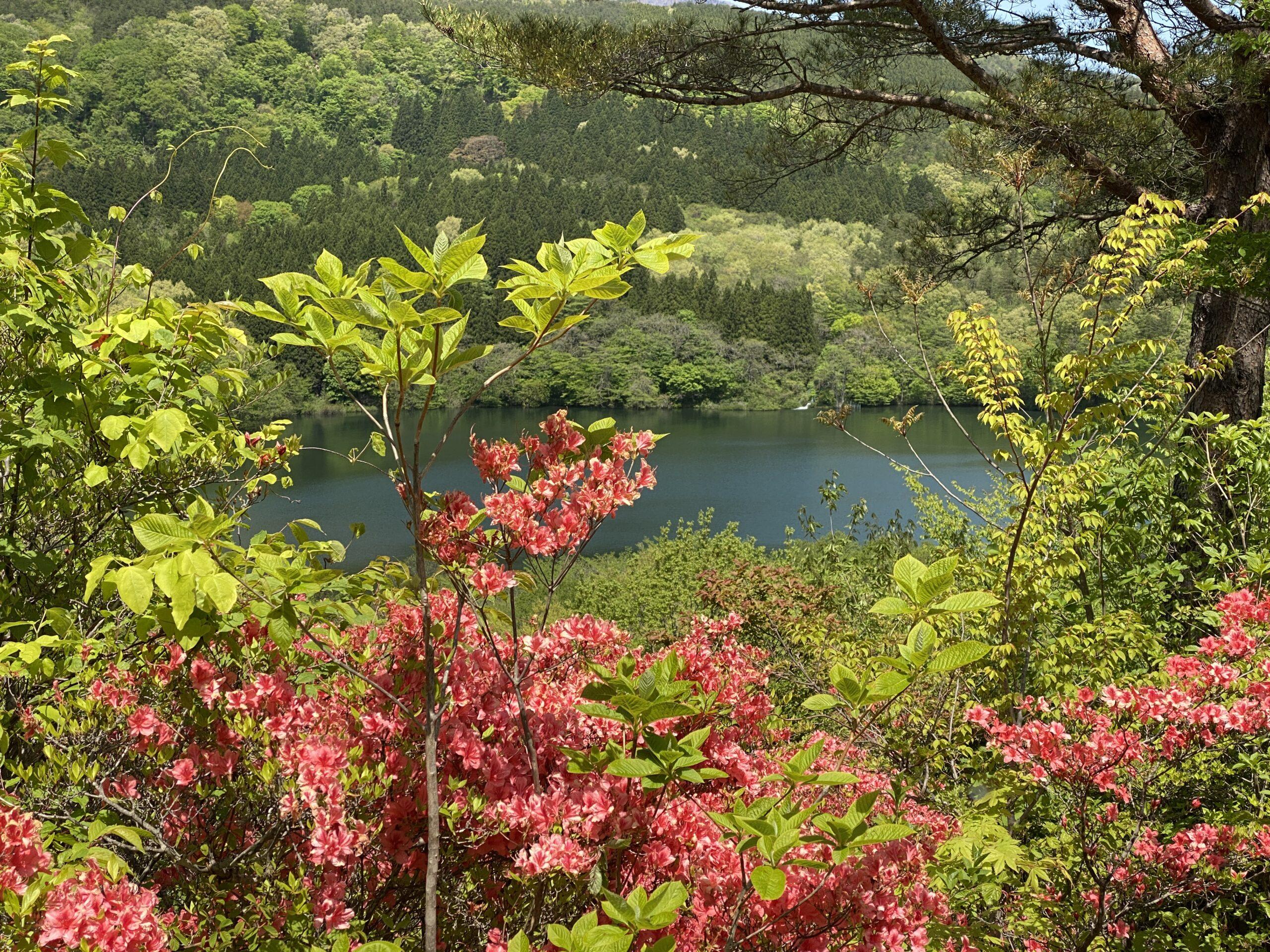 【ふくしま花廻廊】5月中旬から下旬が見頃!山一面の野生つつじと新緑&温泉を堪能