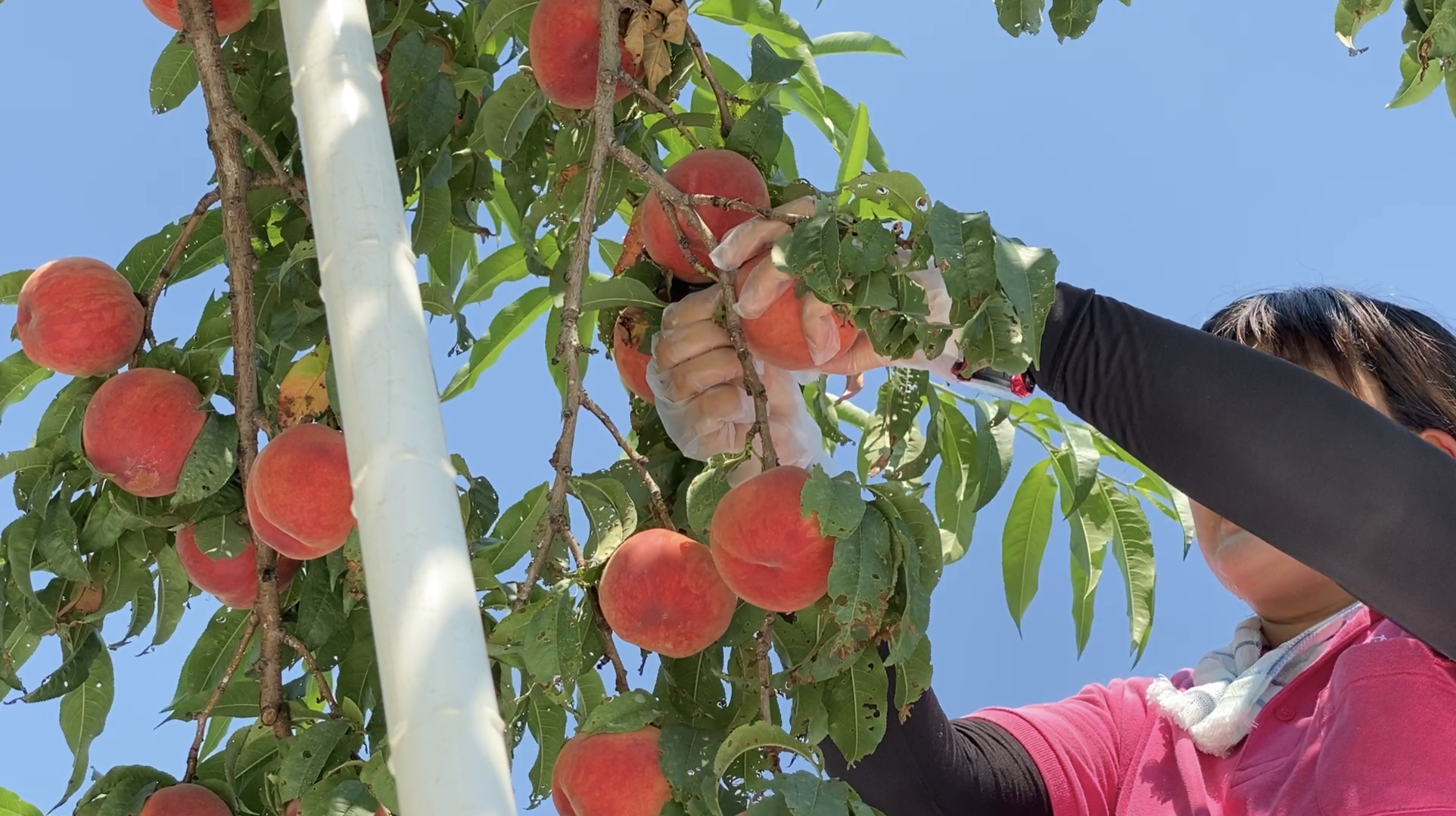 美味しい桃は「お尻」が違う?! 果樹園で聞く桃の見分け方